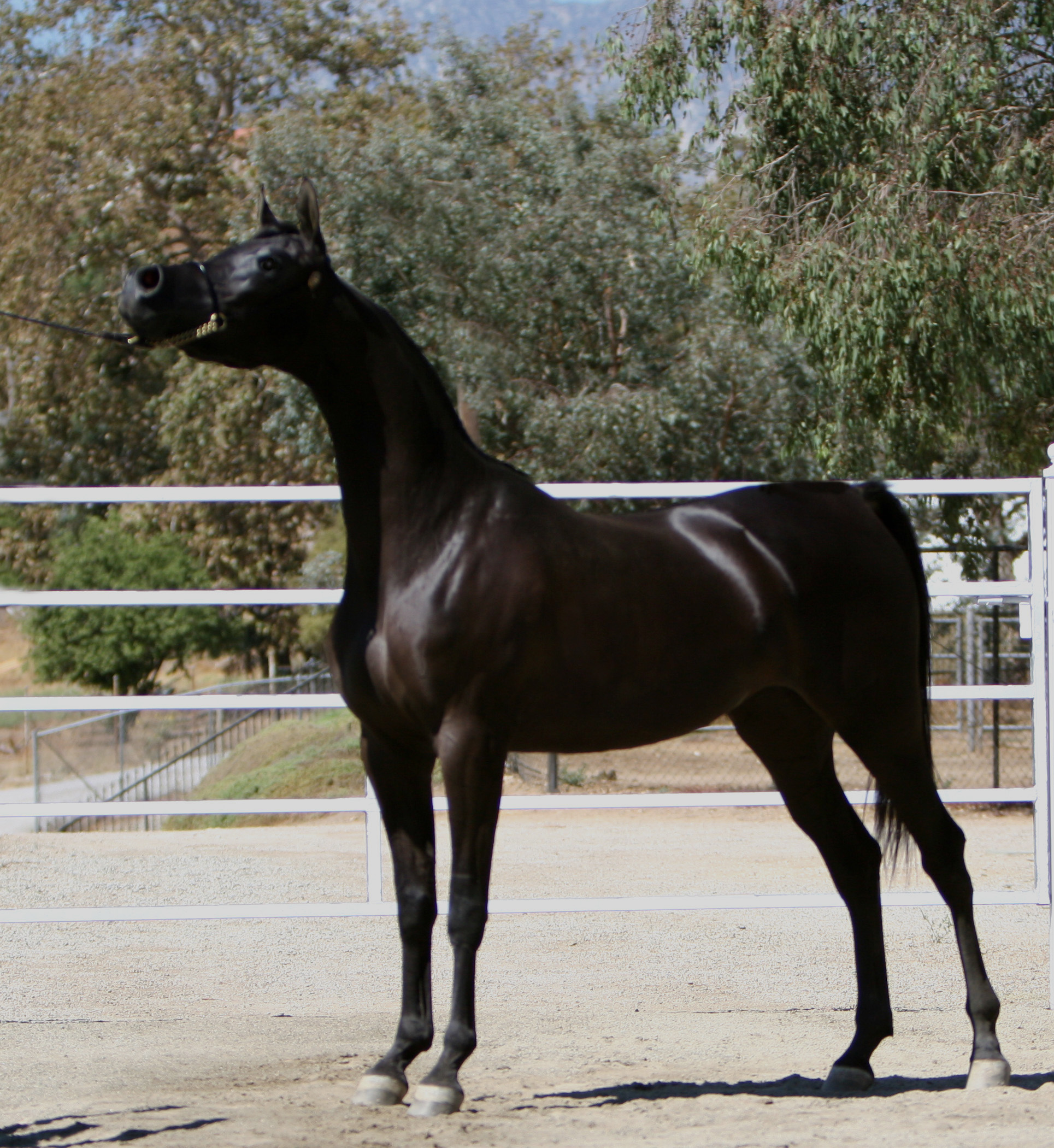 Arabian Horses For Sale In California Bestovall Arabians